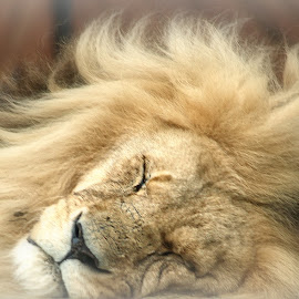 The lion sleeps tonight by Tim Durrant - Animals Lions, Tigers & Big Cats ( lion, roar, jungle, sleep, king )