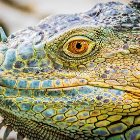 Iguana Face by Ken Nicol - Animals Reptiles (  )