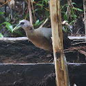New Guinea Flightless Rail