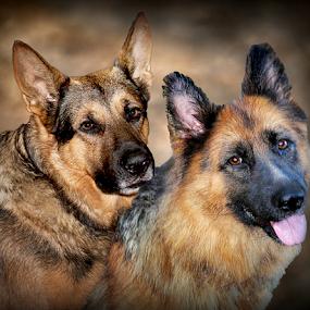 Ruger and Sissy by Dawn Vance - Digital Art Animals ( pet portrait, german shepherd dog, german shepherd, digital photography, digital, portrait )