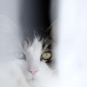 Watchfull by David Vanveen - Animals - Cats Portraits ( cats, animals, cat, color, cute, portrait )