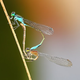 Mating of agrions by Gérard CHATENET - Animals Insects & Spiders