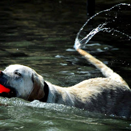 by Don Mann - Animals - Dogs Playing (  )