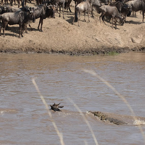 Doomed by VAM Photography - Animals Reptiles ( animals, wildebeest, nature, crocodile, reptile )