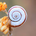 Vineyard Snail