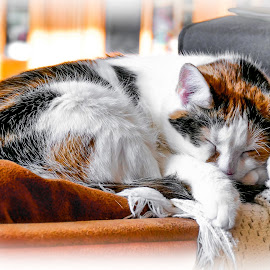 Callie Sleeping by Dawn Friend - Animals - Cats Portraits ( callie, calico cat, cat, portrait, sleeping,  )