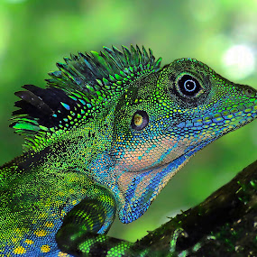 Fierce Little Dinosaur by Tan Tc - Animals Reptiles ( reptiles, macro, lizard, nature, close up )
