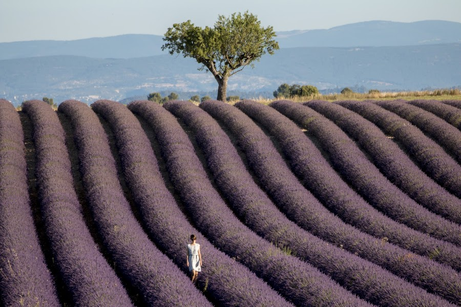 Flowering of Lavender in Provence by Pietro Ebner - Landscapes Prairies, Meadows & Fields ( provence, lowering, france, lavender, valensole,  )
