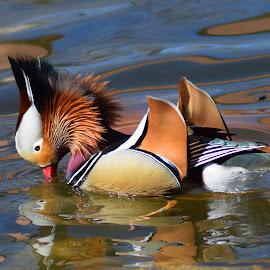 Mandarin Duck Flares by Shawn Thomas - Animals Birds ( water, bird, mandarin, duck, wildlife,  )