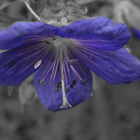 flower with partial blue filter by Arif Burhan - Flowers Flowers in the Wild ( wild, blue, flower )