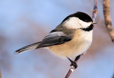 Cute Chickadees Wallpapers - screenshot