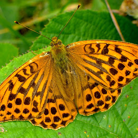 Silver Washed Fritillary by Pat Somers - Animals Insects & Spiders