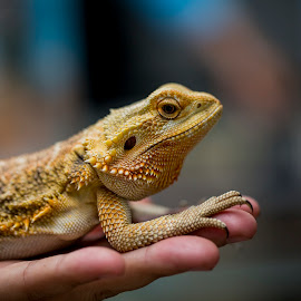 Lizard by Gurung Purna - Animals Reptiles ( reptiles, lizard, yellow, cute, animal,  )