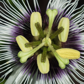 Passionfruit Flower by Kacunk Ndunk - Nature Up Close Flowers - 2011-2013 ( fujinersflowers )