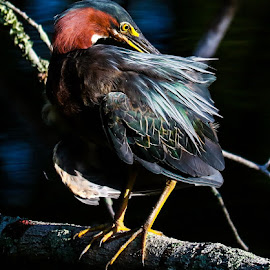 Back itch by Justin Strang - Animals Birds ( animals, green heron, birds, heron )