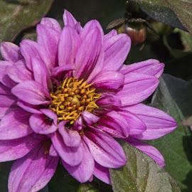Pink Zinnia by Judy Florio - Flowers Single Flower ( macro, pink, leaves, garden, zinnia, summer, flower )