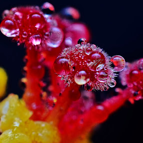 by SweeMing YOUNG - Nature Up Close Other plants ( plant, hibiscus, pollen, nature, shoot, flora, flower )