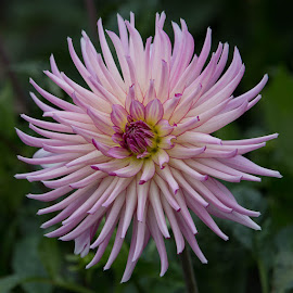 A Hint of Purple by Janet Marsh - Flowers Single Flower ( more dahlias )
