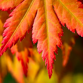 Acer by Darrell Evans - Nature Up Close Leaves & Grasses ( autumnal, macro, acer, green, flora, yellow, leaf, water, orange, outdoor, red, fall, leaves, plant, autumn )