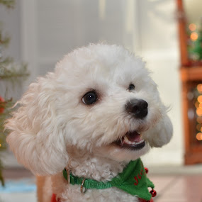 Christmas Cheer by Mark Lendacky - Animals - Dogs Portraits ( bichon, maltese, christmas, white, puppy )