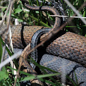 Northern Water Snakes (Mating)