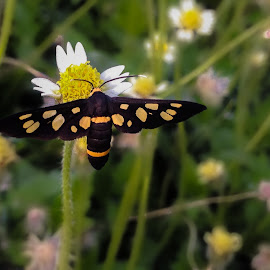 yellow -banded wasp moth by Aminul Islam - Novices Only Macro ( macro, wasp, banded, yellow, moth )