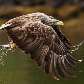 Sea eagle by Dennis Hallberg - Animals Birds ( white-tailed eagle, eagle, sea eagle,  )