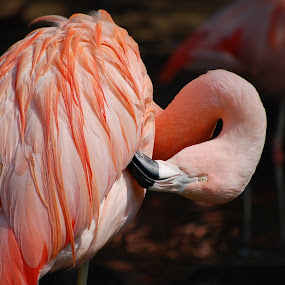 Chilean Flamingo by Katie Ehrlich - Animals Birds ( bird, flamingo, pink, chilean )