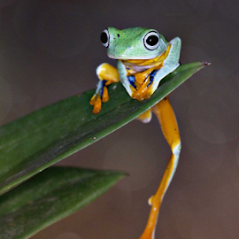 by Arief Setiawan - Animals Amphibians ( frog animal nature leaf green eye )