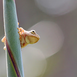 Stelitzia perch by Steve Berry - Animals Amphibians ( colourful, south africa, amphibian, painted reed frog, bokeh )