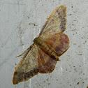 Idaea ostrinaria (L'Acidalie purpurine)