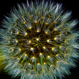 Dandelion seed head by David Winchester - Nature Up Close Other Natural Objects