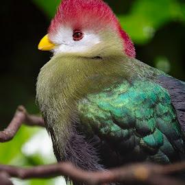 Red Crested Turaco by Nikki Wilson - Animals Birds ( bird, red, turaco, wildlife, animal,  )