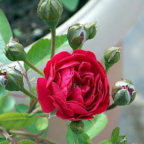by Anudeep Nethi - Nature Up Close Flowers - 2011-2013