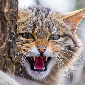 Wild wild cat  by Lajos E - Animals Other Mammals ( wild, cat, felidae, threathen, carnivores, forest, felid, silvestris, portrait, eyes, felis, european, tree, menace, head, carnivora,  )