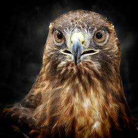 Eye contact with a hawk by Sandy Scott - Animals Birds ( hawk portrait, wildlife, hawk, bird, birds of prey, predator, macro, red-tailed hawk, nature, hawk close-up, night, raptor, animal, eye )