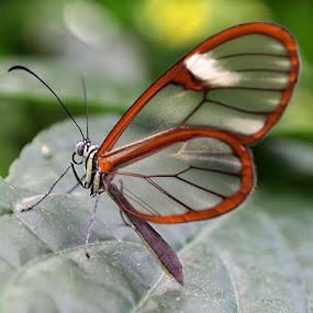 Glasswing Butterfly by Of-the-Star Designs - Animals Insects & Spiders ( glasswing butterfly, butterfly, wings, insect, greta oto )