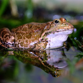 Big frog by Gérard CHATENET - Animals Amphibians