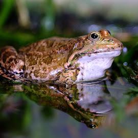 Big frog by Gérard CHATENET - Animals Amphibians