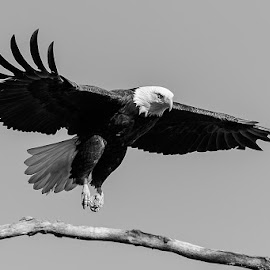 Bald Eagle Landing by Jay Stout - Animals Birds