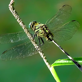 Dragonfly  by Asif Bora - Animals Insects & Spiders (  )