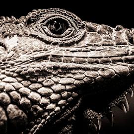 Green Iguana by Mel Stratton - Animals Reptiles ( lizard, black and white, green, white, iguana, reptile, black, green iguana )