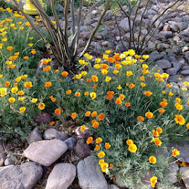 California poppies in Az by Pam Laird - Landscapes Deserts