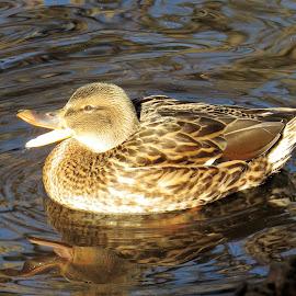 Quack by Erika  Kiley - Novices Only Wildlife ( water, mallard, quack, duck, lake )