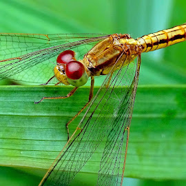 Dragonfly  by Asif Bora - Animals Insects & Spiders