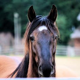 Moon rising by Beck Seibel - Animals Horses