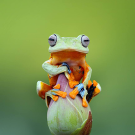 Javan tree frog by Kurit Afsheen - Animals Amphibians
