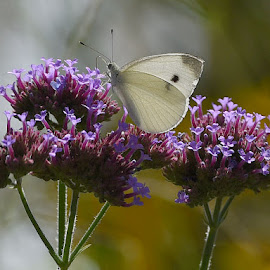 White Butterflhy  by Lorraine D.  Heaney - Animals Insects & Spiders