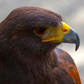 Hawk by D. Bruce Gammie - Animals Birds ( bird, bird of prey., beak, close up, hawk )