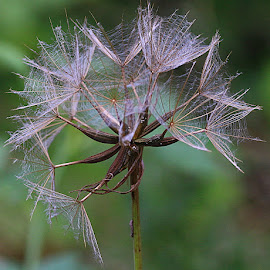 The Last of the Many by Chrissie Barrow - Nature Up Close Other plants ( green, jack-go-to-bed-at-noon, brown, seeds, bokeh, cream, closeup, seedhead )